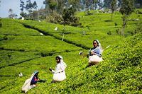 Plantation de thé Sri Lanka et randonnée
