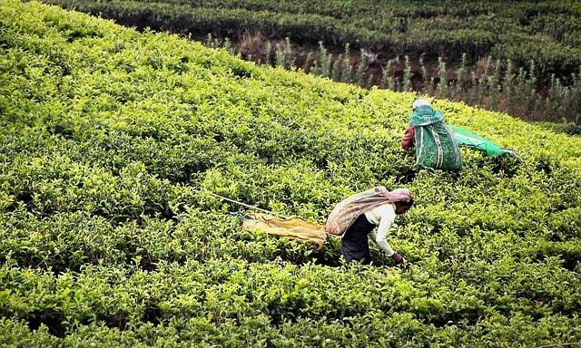 Plantation de thé au Sri Lanka randonnée